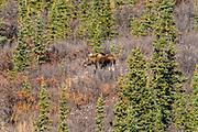 A female Alaskan moose forage on a slope during autumn in Denali National Park, McKinley Park, Alaska.
