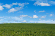 Pasture field under blue sky with cumulus clouds near Yass, New South Wales, Australia. <br /> <br /> Editions:- Open Edition Print / Stock Image