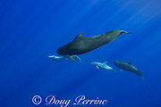 bottlenose dolphins, Tursiops truncatus, interacting with short-finned pilot whales, Globicephala macrorhynchus, north Kona Coast, Hawaii, U.S.A. ( Central Pacific Ocean )