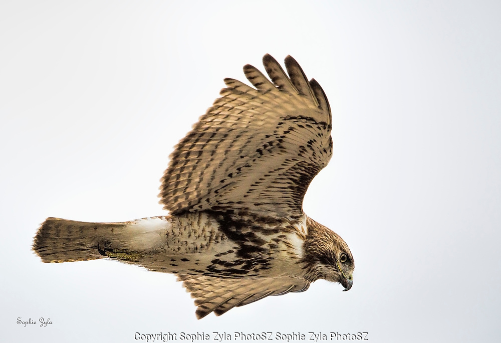 Red-tail Hawk floating by
