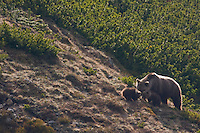 Wild European Brown bear (Ursus arctos), female with two yearling cubs feeding among Dwarf pines (Pinus mugo). Western Tatras, Slovakia. June 2009. Mission: Ticha