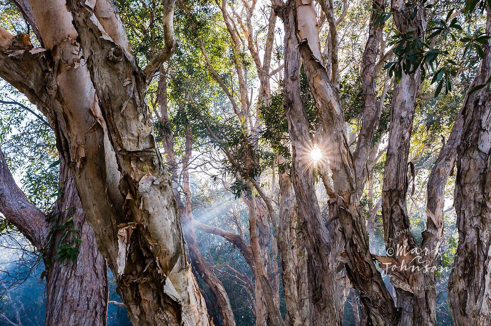 Sunbeams shining through the branches of paperbark trees, Lake Cootharaba, Elanda Point, Queensland, Australia