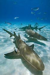 Lemon Sharks, Negaprion brevirostris, with sharksuckers, Echeneis naucrates, and Blue Runner jacks, Caranx crysos, West End, Grand Bahama, Bahamas, Atlantic Ocean.