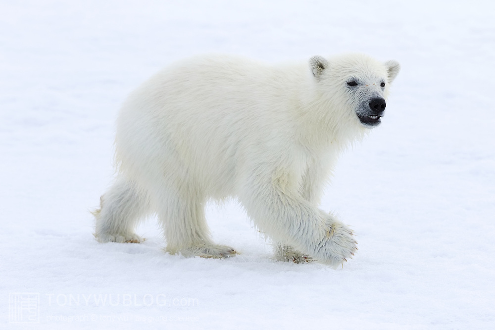 Polar bear cub (Ursus maritimus) walking on ice in northern Svalbard. This cub was with its mother, playing and groaning loudly to get its mother's attention.