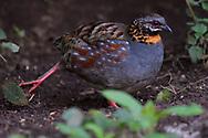Rufous-throated Partridge, Arborophila rufogularis, Gaoligongshan, Yunnan, China