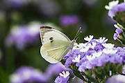 The Large White or Cabbage White (Pieris brassicae) Butterfly on a flower  Photographed in Israel in May