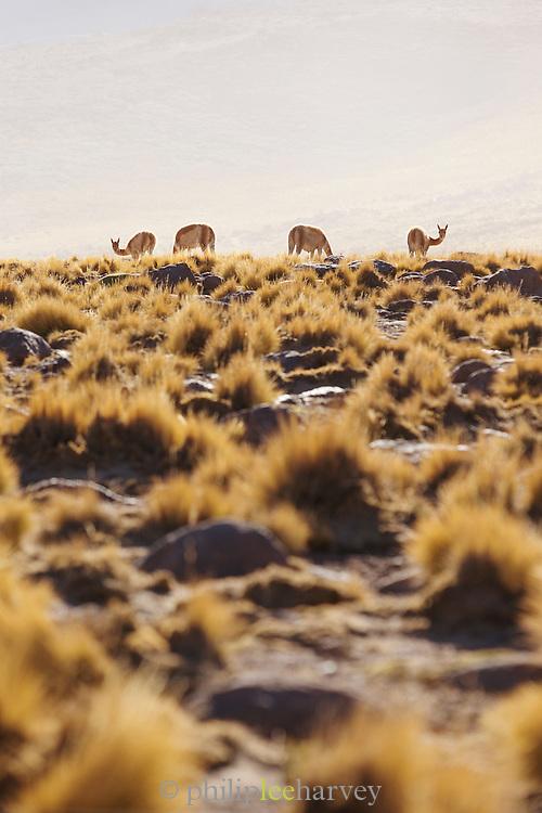 Llamas near Tatio Geysers, Antofagasta Regain, Atacama Desert, Chile, South America