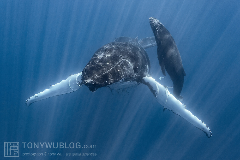 Pictured here is a relaxed female humpback whale (Megaptera novaeangliae australis) stationary in the water, with her female calf heading to the surface for a breath of air. Strong, direct sunlight illuminated fine particles, creating a shimmering curtain of sunbeams in the water.