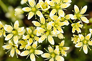 Closeup of Yellow-Spotted Saxifrage (Saxifraga bronchialis) in Southcentral Alaska. Summer. Afternoon.