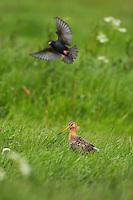 Black-tailed Godwit (Limosa limosa) Texel, The Netherlands