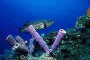black grouper, Mycteroperca bonaci, <br /> and purple tube sponges, Aplysina archeri, <br /> off Nassau, New Providence Island, Bahamas <br /> ( Western Atlantic Ocean)