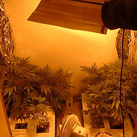 London Jan 23 On Monday 26th January 2009 Cannabis becomes Class B drug moving from class C - File Image shows an Illegal domestic factory....***Standard Licence NUJ Fee's Apply To All Image Use***.XianPix Pictures  Agency . tel +44 (0) 845 050 6211. e-mail sales@xianpix.com .www.xianpix.com