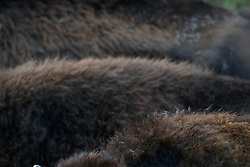 Abstract patterns of coats and backs in bison herd, Vermejo Park Ranch, New Mexico, USA.