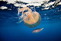 Young fish hiding under a Mauve stinger jellyfish, Pelagia noctiluca, family Pelagiidae, Pico, Azores, Portugal