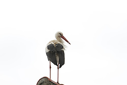 June 17, 2017 - Ihlow, Dorf, Märkisch Oderland, Oberbarnim, Germany - Stork on a roof in Ihlow in Oberbarnim in Germany (Credit Image: © Simone Kuhlmey/Pacific Press via ZUMA Wire)