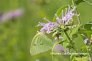 03091-00517 Cloudless Sulphur (Phoebis sennae) on  Wild Bergamot (Monarda fistulosa)  Marion Co. IL