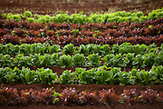 Rows of red and green lettuce in a field in Hawaii
