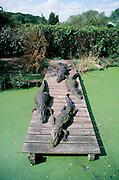 Alligator, Florida