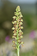 Man Orchid - Orchis anthropophorum