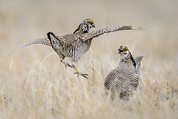 Male lesser prairie-chickens (Tympanuchus pallidicinctus) battle each other for the prime spot on a lek near the Smoky Valley Ranch in Logan County, Kansas. Prairie chickens return to the same lek year after year to mate. Males attempt to entice female lesser prairie-chickens with a showy mating display on a lek <br /> <br /> Lesser prairie-chickens are found in Colorado, Kansas, New Mexico, Oklahoma and Texas with about half of the current population living in western Kansas.<br /> <br /> Males have bright yellow eye-combs. During courtship on a lek, males inflate their red esophageal air sacs and hold erect pinnae on each side of the neck. They rapidly stomp their feet making a drumming-like sound. The booming call of lesser-prairie chickens, amplified by the air sacs, can be heard as far as a mile away.