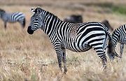 Atypican striped pattern on a zebra (Equus quagga), perhaps caused by a mutation.  Maasai Mara, Kenya.