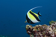 Moorish Idol (Zanclus canescens)<br /> Off of Wolf Island<br /> GALAPAGOS ISLANDS<br /> ECUADOR.  South America<br /> RANGE: Indo-west Pacific, Gulf of California to Panama, Revillagigedos, Cocos and Galapagos