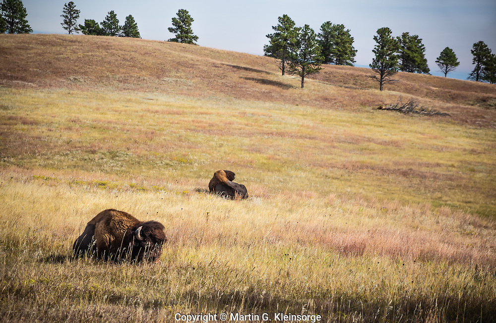 Bison resting on the rolling hills at Windcave National Park.  South Dakota, USA.