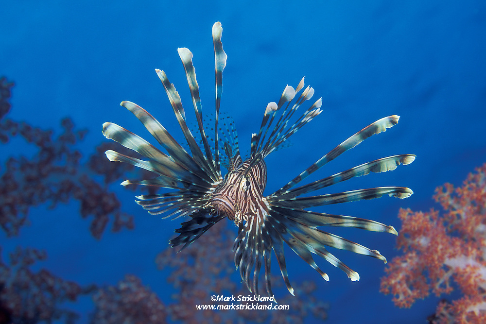 Armed with highly venomous fin spines, an Indian Lionfish, Pterois muricata, hovers among soft corals. Hin Muang, Thailand, Andaman Sea
