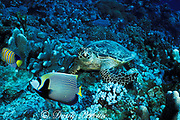 hawksbill turtle, Eretmochelys imbricata, feeding on coral rubble with emperor angel and regal angel waiting for scraps, Layang Layang Atoll, Malaysia  ( South China Sea )