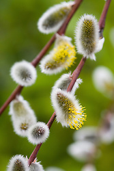 Salix acutifolia pendulifolia