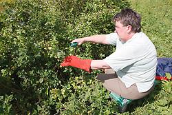 Trinity Organic Farm, Nottinghamshire - volunteer pruning berry bush