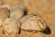 Algerian Sand Gecko, (Tropiocolotes steudneri) AKA Dwarf Geckos or Steudner's pygmy gecko. Photographed in Israel in December
