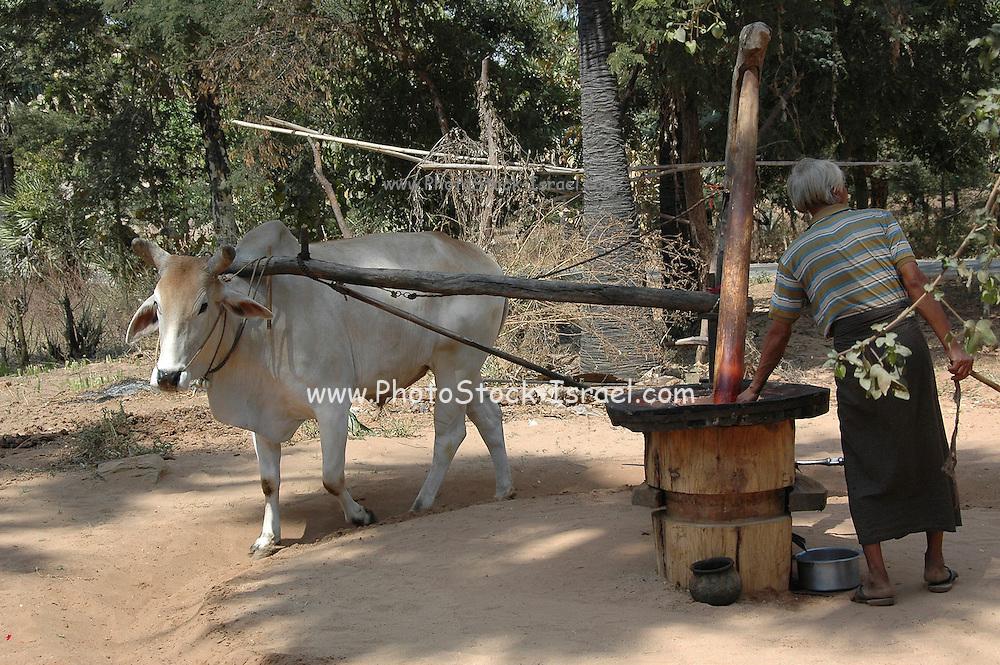 Myanmar Bagan Popa mountain park an ox used for threshing