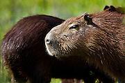 Aquidauana_MS, Brasil...Capivara (Hydrochoerus hydrochaeris) da fazenda Rio Negro no Pantanal...Capybara (Hydrochoerus hydrochaeris) in the Rio Negro farm in Pantanal...Foto: JOAO MARCOS ROSA / NITRO