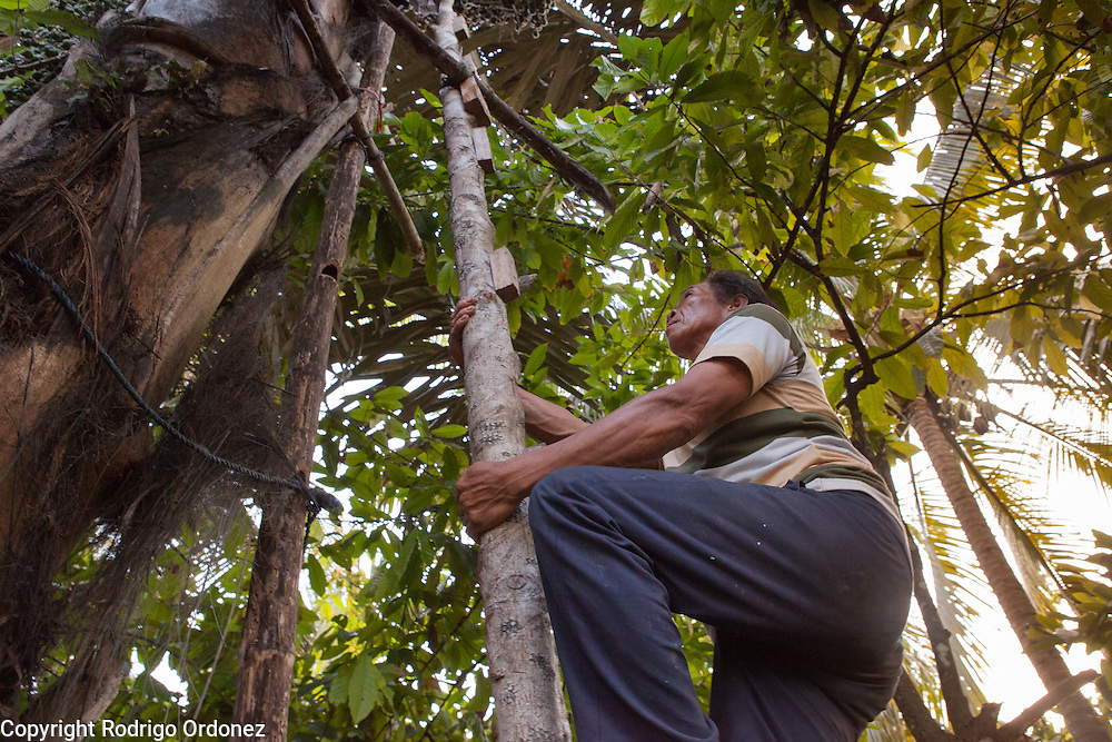 A local tapper climbs a sugar palm tree to collect sap in East Kalimantan, Indonesia, on March 12, 2016. Planted around the perimeter of the Samboja Lestari rainforest is a belt of sugar palm trees, which serve both as a protective barrier against fires and as a source of income for local families. <br /> (Photo: Rodrigo Ordonez)