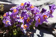 Purple & orange alpine flower in Upper Lauterbrunnen Valley,<br /> Switzerland, the Alps, Europe. The Swiss Alps Jungfrau-Aletsch region is honored as a UNESCO World Heritage Site.