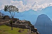 A three in the ruins of the lost city of Machu Picchu. Located in the region of Cusco in Peru.