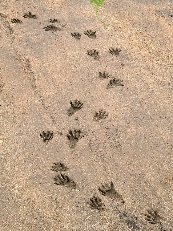 Raccoon Tracks on the Shore of Tomales Bay,Point Reyes National Seashore, California