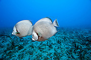 A pair of Grey Angelfish, Pomacanthus arcuatus, swims over a South Florida coral reef. Image available as a premium quality aluminum print ready to hang.