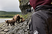 A brown bear sow known as Bearded Lady watches over her spring cubs within a few meters of a visitor at the McNeil River State Game Sanctuary on the Kenai Peninsula, Alaska. The remote site is accessed only with a special permit and is the world's largest seasonal population of brown bears in their natural environment.
