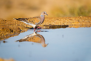 Turtle Dove (Streptopelia turtur) reflected in a water pool in the desert, negev, Israel in June