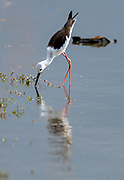 Black-winged stilt (Himantopus himantopus) feeding in a lake in Kruger NP, South Africa.