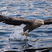 White-tailed eagle in flight, Hokkaido, Japan