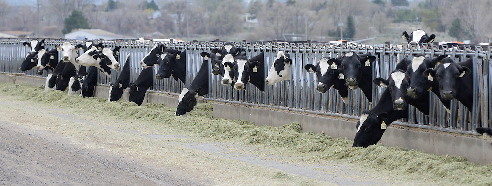 Cows in a feedlot near Jerome, Idaho.
