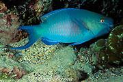 bicolor parrotfish, ember parrotfish, or redlip parrotfish, Scarus rubroviolaceus, terminal male, feeding, Cocos Island ( Eastern Pacific Ocean )