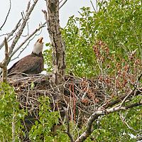 A Bald Eagle (Haliaeetus leucocephalus) nests in a cottonwood tree in Montana's Gallatin Valley, near Bozeman.