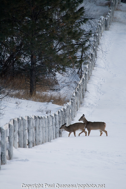 Whitetail deer negotiate a fence on the Grant Creek Ranch near Missoula.