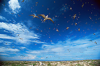 Sooty Terns (Sterna fuscata) hover over their nesting colony on Teuaua Islet off from Ua Huka Island, Marquesas Islands, French Polynesia.