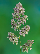 Cocksfoot grass (Dactylis glomerata) panicle, anthers bearing pollen, Kent UK, Stacked Focus Image