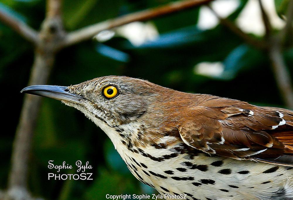 Brown Thrasher Manomet Bird Banding